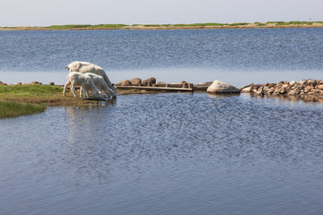 Schafe am Fastensee auf der Insel Fehmarn