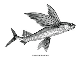 Exocoetidae or Flying fish hand drawing vintage engraving illustration Wall mural