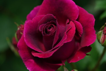 赤いバラ Red Rose