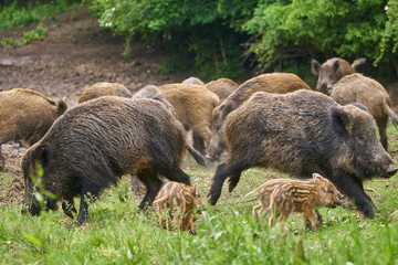 Wild hogs rooting for food