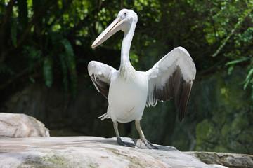 Pelicans in the Zoo