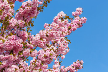 Blossoming branches of Japanese cherry – Sakura against the blue sky. Beautiful pink flowers background
