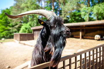 A male goat looks over a fence