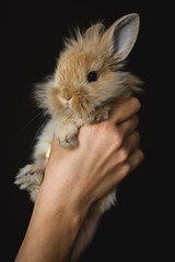 small red-haired rabbit in female hands