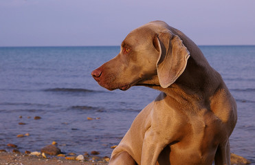 Weimaraner on the beach