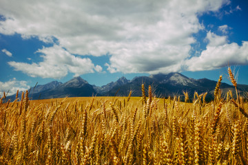 Golden field of ripe wheat on the background of infinite cloudy blue sky and the mighty Tatras Mountains in Slovakia. Charming rustic landscape. Beauty of the virgin nature. Travel background.