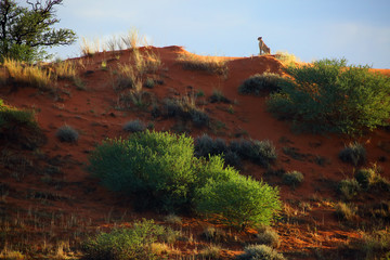 Desert landscape with cheetah on the red dune. Cheetah (Acynonix jubatus) monitors its surroundings from above.