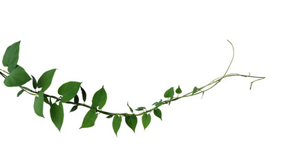 Heart shaped dark green leaf twisted jungle vines liana climbing plant isolated on white background, clipping path included.