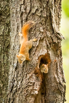 A couple of red squirrels in a tree
