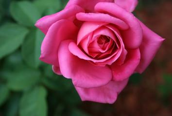 Gorgeous Pink Rose