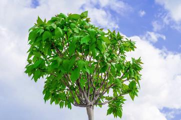 Catalp tree on sky background
