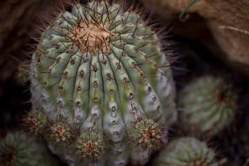 Cactus Copiapoa cinerea