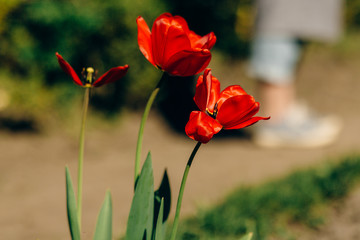 beautiful red tulips and  ground in sunny green park. tender beauty of blooming in botanical garden in spring. space for text. moment. springtime. environmental protection.