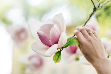 woman hand holding magnolia pink flower in sunny green park. tender beauty of blooming in botanical garden in spring. space for text. moment. relax and spa. springtime. environmental protection