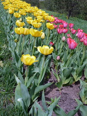 red and yellow tulip at spring