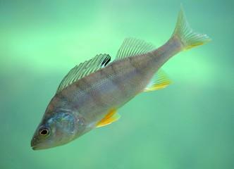 Fisch freigestellt