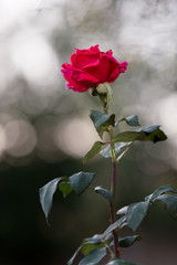 A beautiful, single, red rose stands alone on an overcast day.