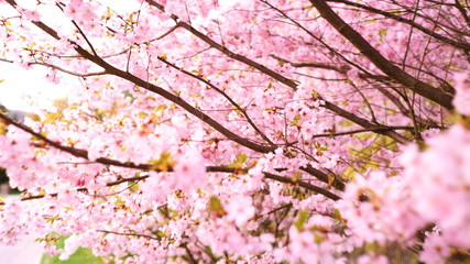 Blooming pink sacura trees. Cherry trees blooming
