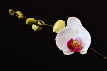 Il bel fiore di orchidea con i boccioli ancora chiusi
