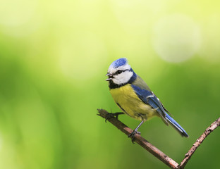 portrait of a beautiful bright little blue tit sitting on a branch in spring garden and sings