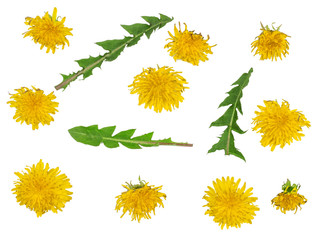 Dandelion flowers with green leaves isolated on white