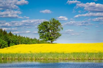 The lonely tree in the yellow field near Minsk, Belarus