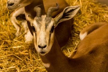 lovely head of a mhorr gazelle