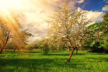Sunny summer landscape. Bright sun rays on apple tree.