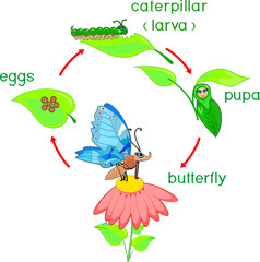 Life cycle of butterfly. Sequence of stages of development from egg to adult insect
