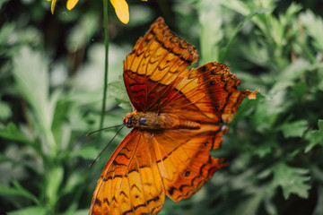 Zbliżenie na egzotycznego motyla