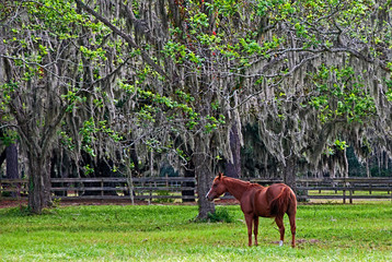 Grazing Under the Spanish Moss