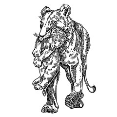 Lioness is carryng a lion cub. Sketch. Engraving style. Vector illustration.