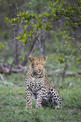Female leopard (Panthera pardus) sitting, Sabi Sands Game Reserve, Mpumalanga, South Africa