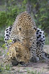 Pair of leopards (Panthera pardus) mating, Sabi Sands Game Reserve, Mpumalanga, South Africa