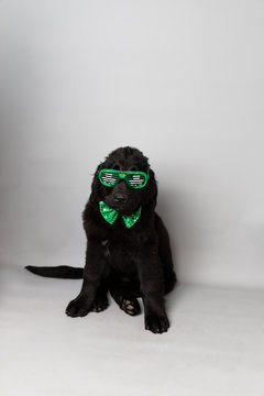 Newfoundland puppy with green bow tie and shamrock party glasses against a grey seamless background