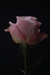Pink rose. Close up