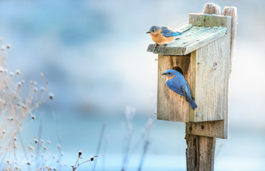 A pair of Eastern Bluebirds on a nesting box in Spring.
