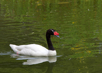 One black necked swan, the largest waterfowl native to South America, swimming in a pond with green reflection from plants surrounding it.