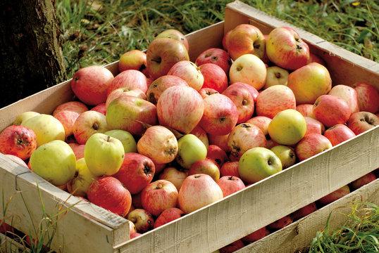 Pommes à cidre en cageot bois, Calvados, Normandie, France