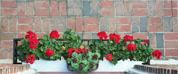 Aerial View of Red Geraniums in Window Box