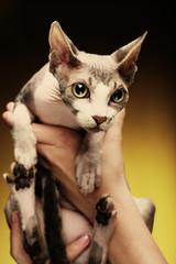 little fun sphynx  cat.