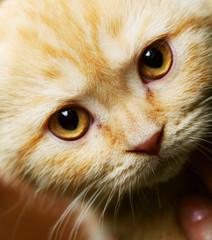 red England lop-eared kitten