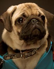 Pug wearing blue jacket