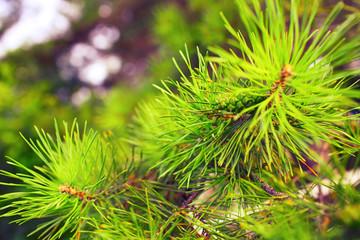 Unripe fir apple on the coniferous branch
