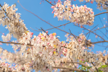 Cassia bakeriana tree.