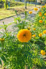 Yellow Marigold Flower.