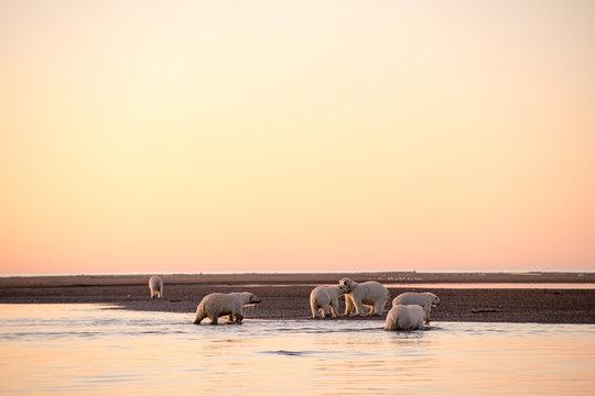 アラスカの夕暮れとホッキョクグマの群れ