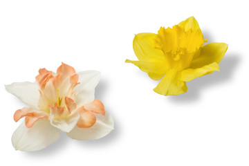 Door stickers Narcissus Spring flowers: white and yellow daffodil isolated on white background