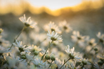 White daisy flowers in early morning sunlight