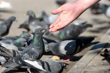 birds and a concept of the wild nature - pigeons eat bread crumbs from a human hand
